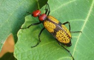 Iron Cross Blister Beetles in Imported Pre-packaged Leafy Vegetables