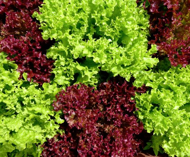 Certain cauliflower, red leaf lettuce and green leaf lettuce produced by Adam Bros Farming Inc.  recalled due to E. coli O157:H7